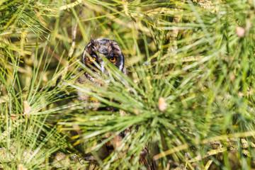 Cabeza de Búho Chico entre la vegetación. Asio otus.