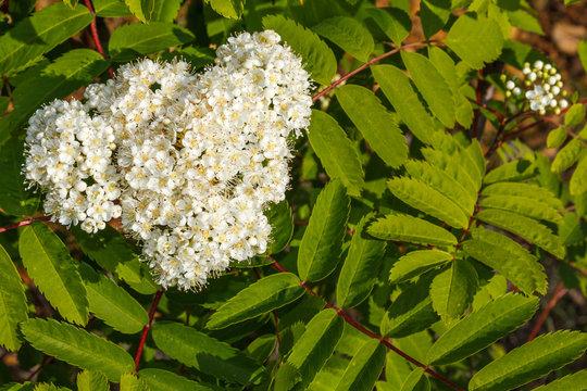 Ramas con hojas y flores de Ailanto, Árbol del Cielo. Ailanthus altissima.