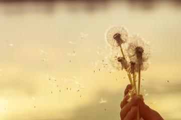 dandelion seeds flying in the hands