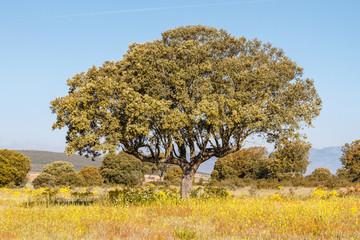 Quercus ilex. Encina.