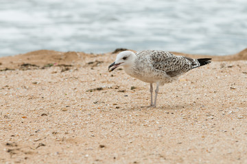 Seagull with seashell in the beak on the sand sea coast.