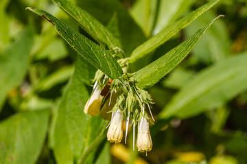 Symphytum tuberosum. Flores y hojas de Consuelda Menor.
