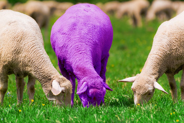 Two Sheep and a Purple Grazing in the Field, with Blurry Background