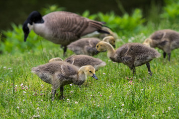 Young Geese Search For Food