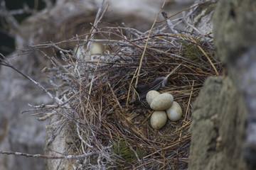 Nest with eggs great black cormorant