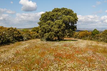 Encina, campo de margaritas y jaras. Quercus ilex.