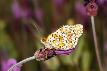 Mariposa sobre flor de Lavandula pedunculata.