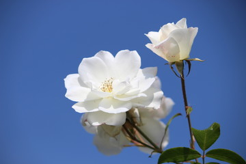 White wild rose with sunny blue sky