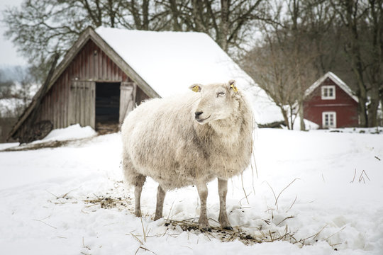 A sheep on wintery pasture