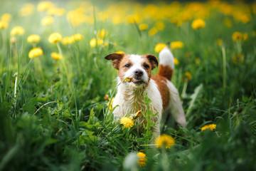Dog Jack Russell Terrier walking