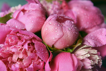 delicate fresh flowers and buds big pink peonies with drops after rain close up