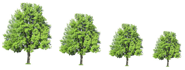 Row of trees growing in size, isolated on white