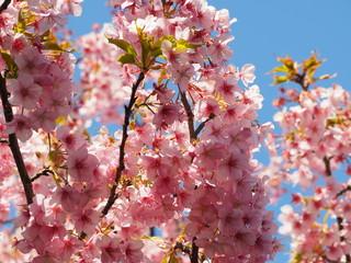 sakura cherry blossom in Kawazu Shizuoka  OLYMPUS DIGITAL CAMERA