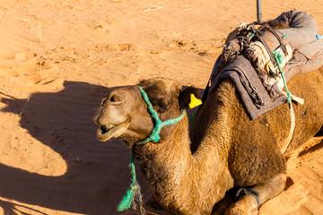 camel lying on sand in the desert
