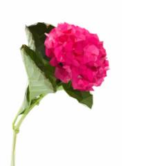 single hortensia flower