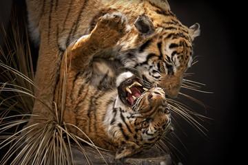 Tigres peleandose/ Tigres atacando y peleando entre ellos