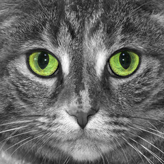 Tabby cat photo converted to black and white with green eyes remaining in color