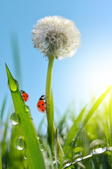 Wall Mural - Dewy dandelion flower with ladybugs in grass. Nature background.