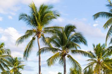 Cocotiers, palmiers, exotique