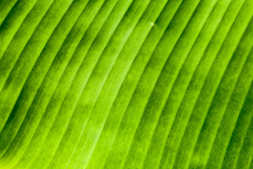 Banana leaves texture