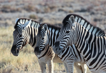 animals' wildlife in Namibia, Africa