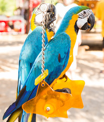 Colorful couple macaws sitting on swing.