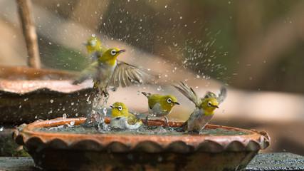Cute birds bathe in a small pot Wall mural