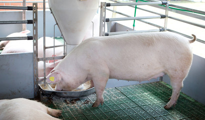 Domestic pig eating from self feeder