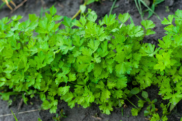 Tasty and healthy parsley grown on their own