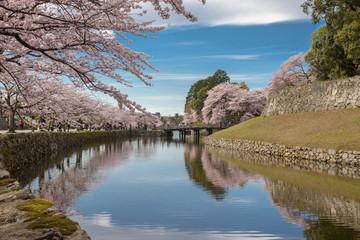 彦根城内堀の桜