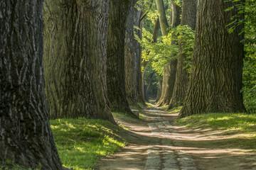 Geschwungener Märchen Waldweg im Frühling mit großen stämmigen Bäumen und leuchtende grüne Blätter