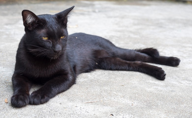Lazy black cat lay on floor