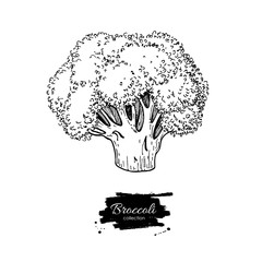 Broccoli hand drawn vector illustration. Vegetable engraved style