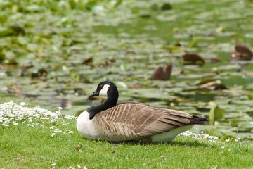 Canada goose squatting on the lawn