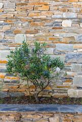 Olivenbaum vor meditteraner Steinmauer