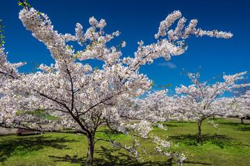 Sakura trees against the blue sky and grass