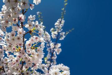 Sakura branch against the clear blue sky