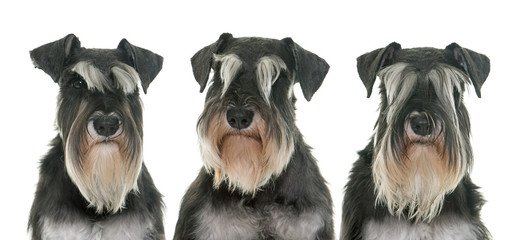black and white miniature schnauzers