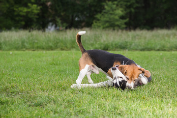 Beautiful Siberian Husky playing in the field with her Beagle friend.
