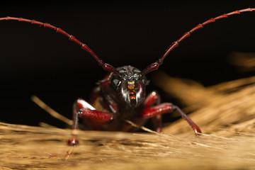 beetle woodcutter