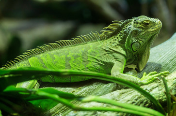Common green iguana standing on a branch