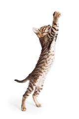 Cute Kitten Standing Reaching Paws Up