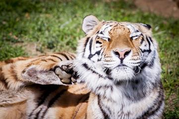 Tigre en train de se gratter