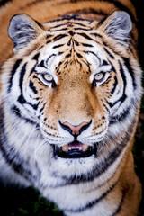 Portrait de tigre