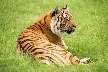 Printed roller blinds Tiger Bengal Tiger