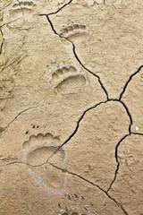 dried mud tracks