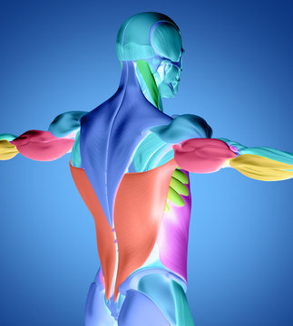 Human anatomy muscle groups. Muscle layout and location shown in different colours/colors. 3d illustration.