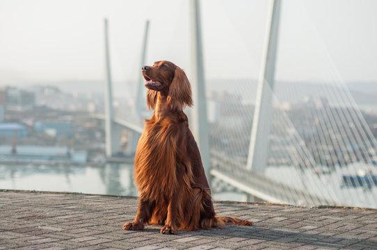 Irish setter at the Vladivostok viewpoint