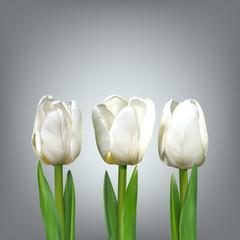 Three white tulip