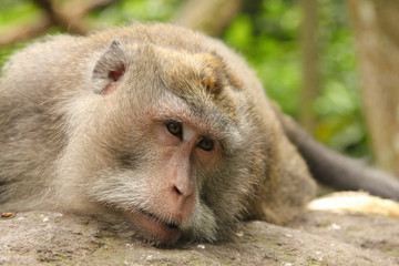 Monkeys portrait.Close-up of a monkey face in a natural forest of Thailand or Baly